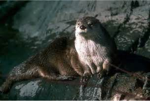diet baby river otters picture 14