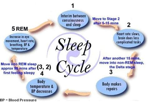 human sleep cycles picture 6
