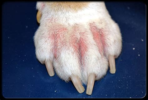 canine yeast infection picture 5
