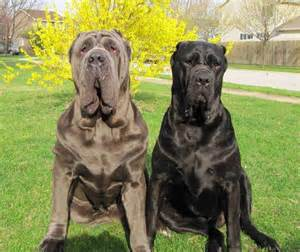 picture of mastiff big penis picture 19