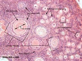 menstruation + thyroid picture 10