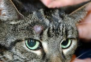 feline skin cancer picture 14