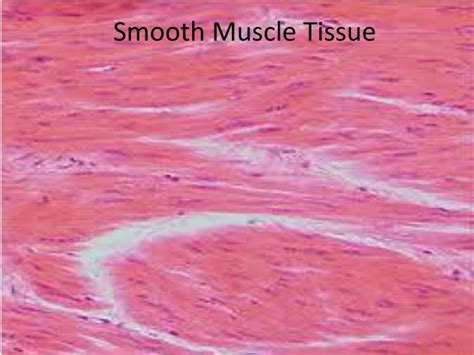 contraction in smooth muscle tissue picture 9