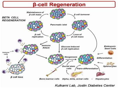 weight loss beta cell regeneration picture 3