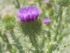 thistle weed picture 5