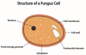 yeast cell wall thins picture 3