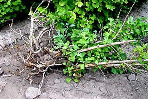 ginkgo ginkgo biloba root problems picture 1