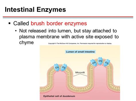 enzymes in the colon picture 2