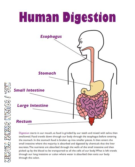 digestive vocabulary picture 11