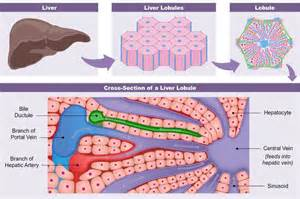 functions of the liver picture 3