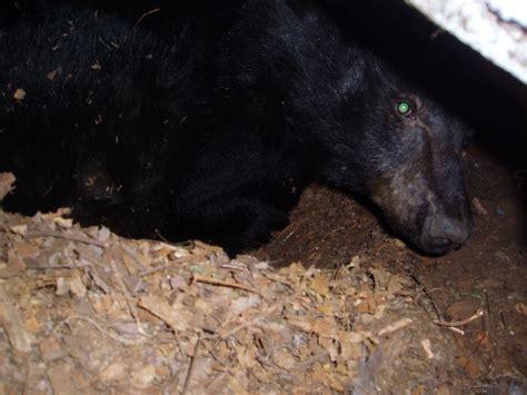 adirondack black bear sleep habits in spring picture 9