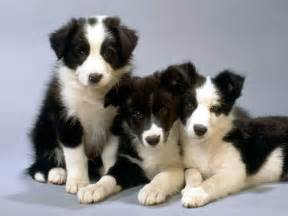 hypothyroidism and dogs picture 7