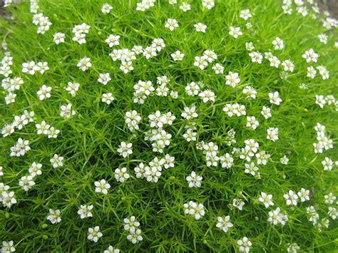 white irish moss picture 2
