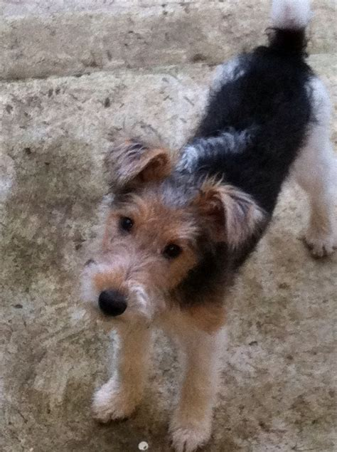 wire hair fox terrier picture 11