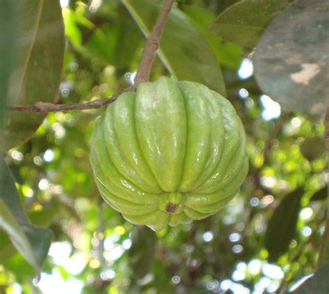 garcinia cambogia 4.95 picture 3