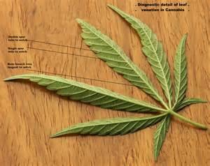 marijuana plant and how to smoke picture 17