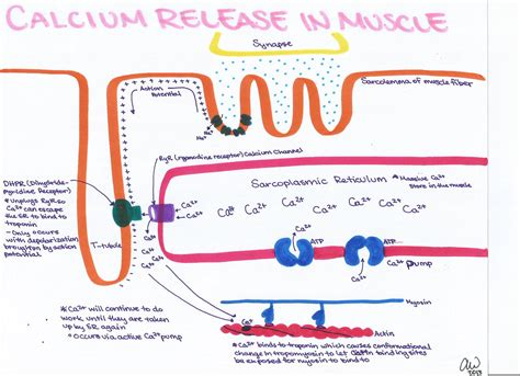 calcium in muscle picture 1