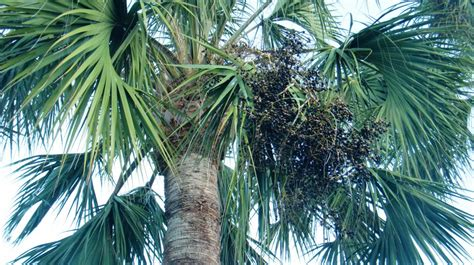 acai palm florida picture 7