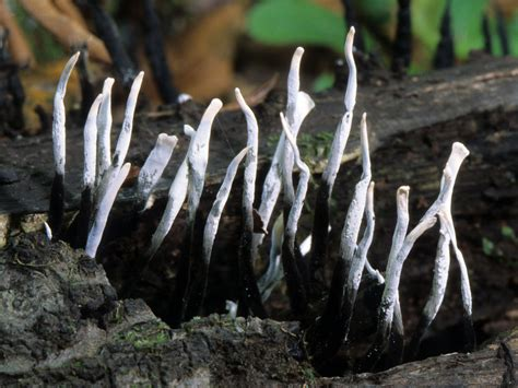 white fungus on wood picture 2