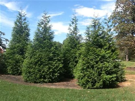 thuja cream westminster md picture 13