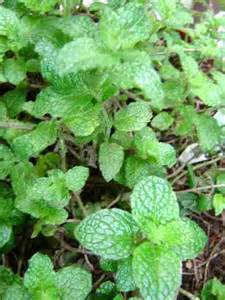 online glossary of herbal plants and their uses picture 5