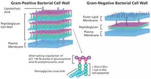 Bacterial cell walls picture 3