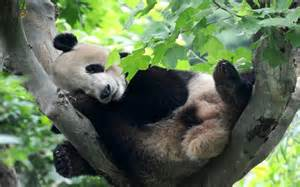 how much do giant pandas sleep picture 1