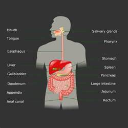 digestive function of pancreas picture 5