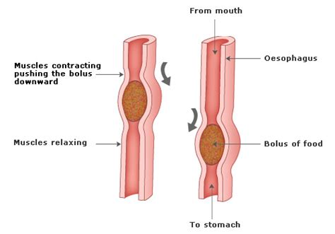 how digestion work picture 2