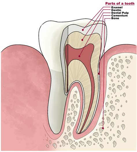 anatomy of the teeth picture 18