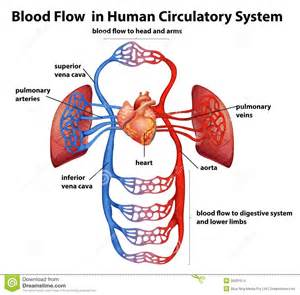 circulation of blood in a fetal human picture 2