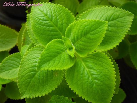 kalabo herbal plant picture 1