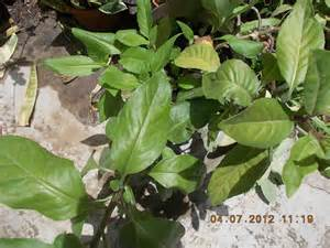philippine impotence herbs picture 11