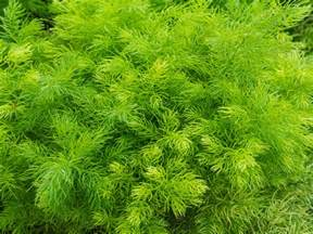best hot herbal herbs picture 5