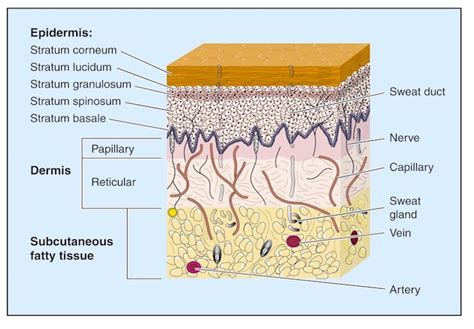 skin anatomy picture 6