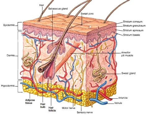 skin structure pictures picture 3