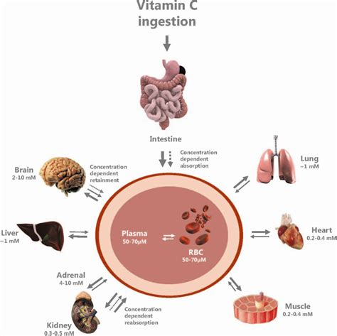 digestion of vitamins picture 17