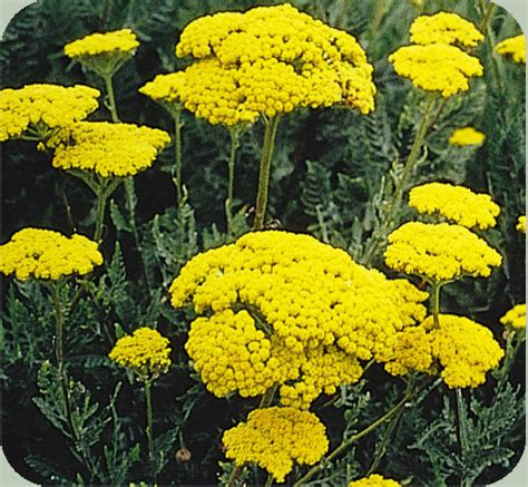 is yellow yarrow the same as white yarrow picture 1