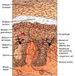 is rhodopsin located in skin cells picture 18