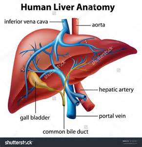liver in a human body picture 9
