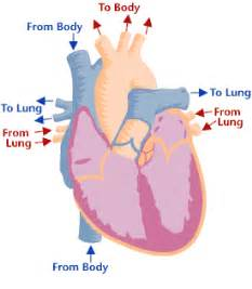 Animation of blood flow though heart picture 5