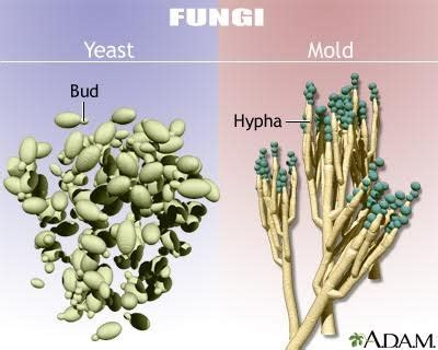 what is candida yeast support picture 13