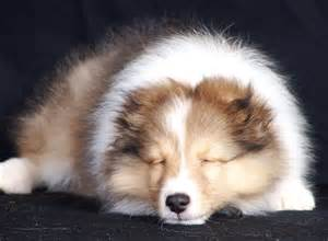 shelties h picture 1