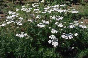 close ups of yarrow blooms picture 10