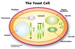 yeast cell picture 2