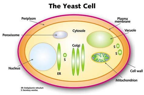 yeast cell picture 1