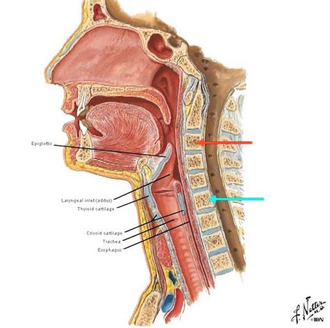 anatomy thyroid picture 6
