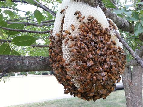 Deviding honey bee hives picture 10