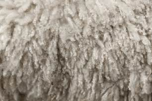 care of hair sheep picture 6