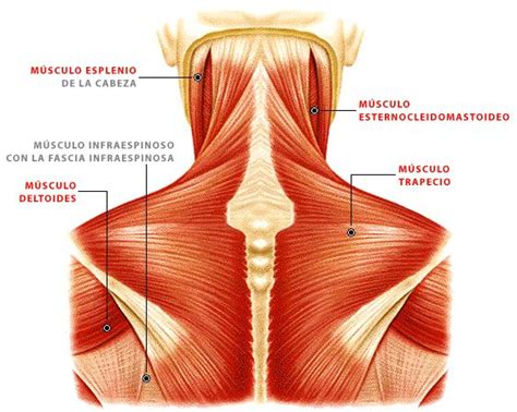 back muscle pain picture 13